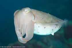 BD-130402-Tulamben-9335-Sepia-latimanus.-Quoy---Gaimard.-1832-[Broadclub-cuttlefish].jpg